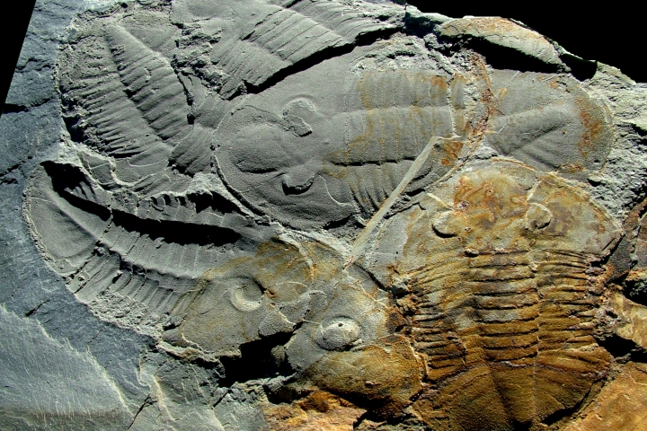 Trilobites Gigantes de Canelas